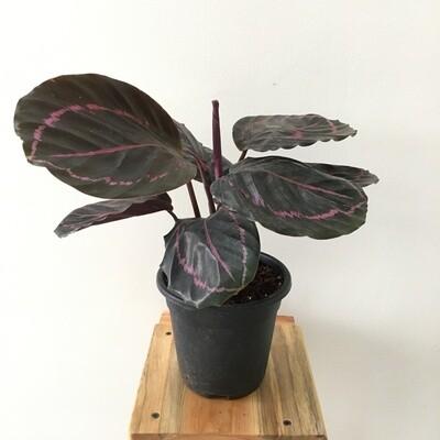 """Calathea Roseapicta Plant in 4"""" Nursery Pot"""