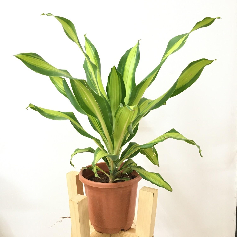 "Dracaena Fragrans in 7"" Nursery Pot"