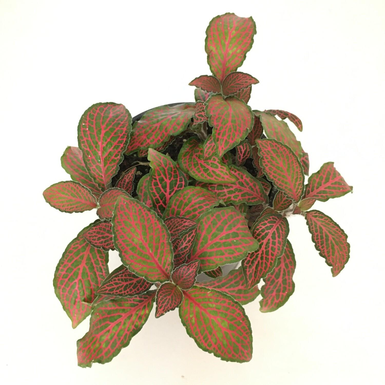 "Fittonia - Nerve Plant in 4"" Nursery Pot"