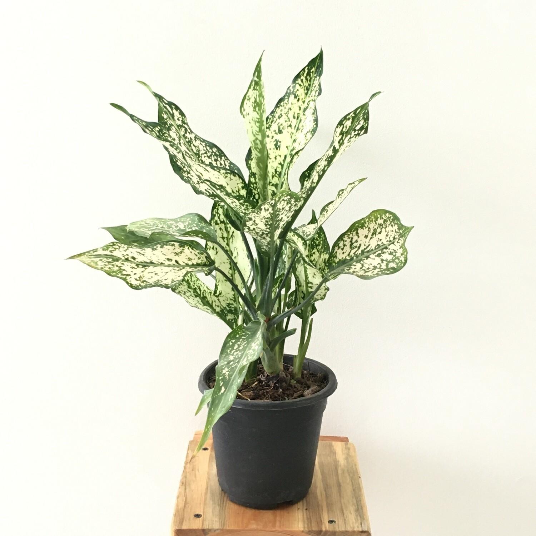 "Bushy Aglaonema Snow White Plant - Chinese Evergreen in 5"" Nursery pot"