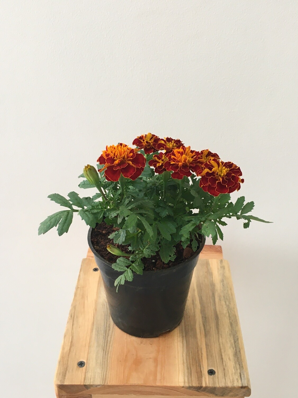 "French Marigold in 4"" Nursery pot"