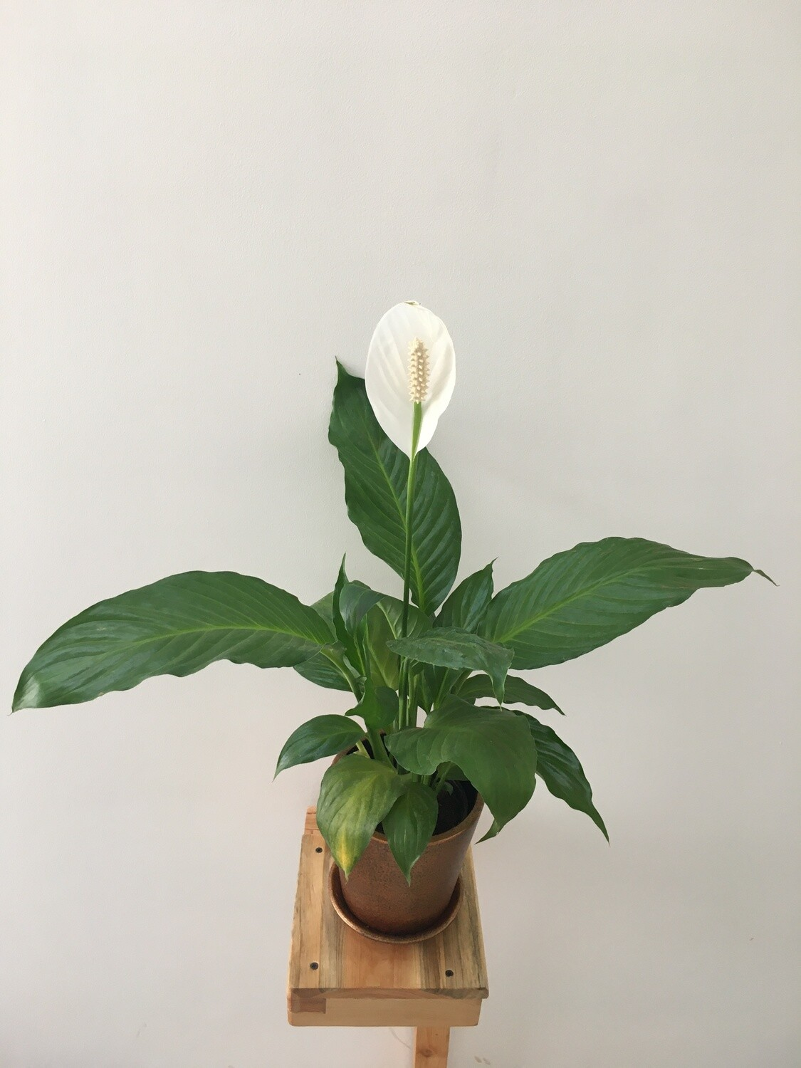 """Peace Lily, Spathiphyllum Indoor Air Purify Plant (Long Leaf) in Coated - 6 Inch """" V """" Pot - Copper Metallic with Saucer"""
