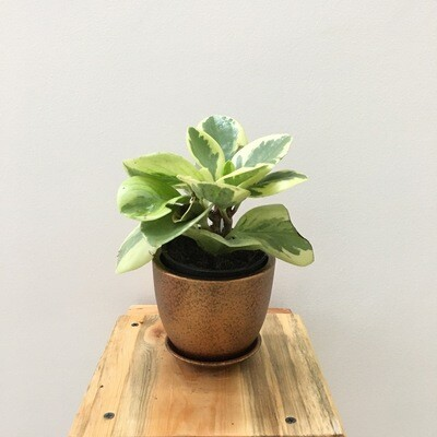 Peperomia Variegated Plant in Coated - Cup Pot - Copper Metallic with Saucer