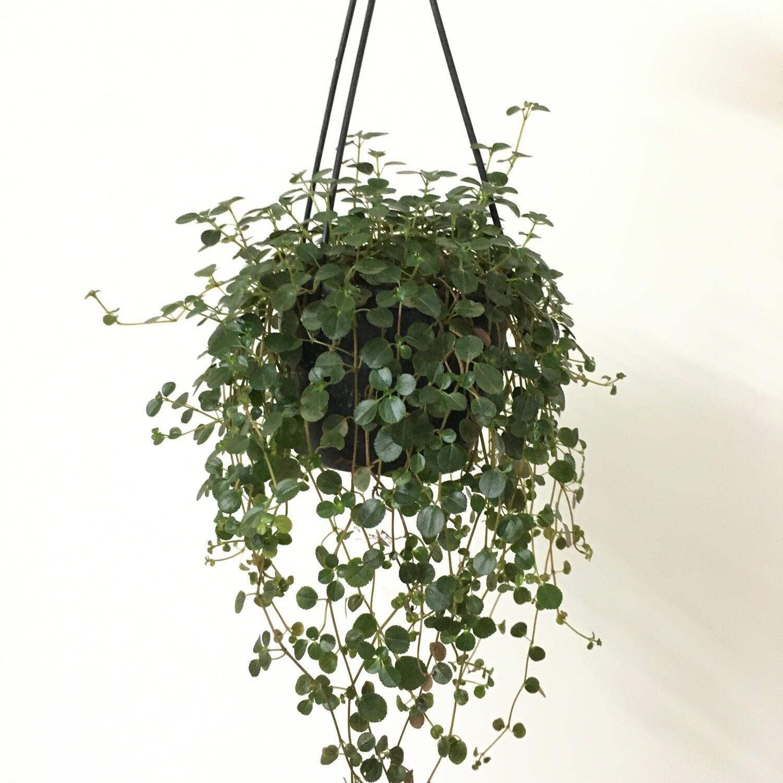 Strings of Turtle in Hanging basket