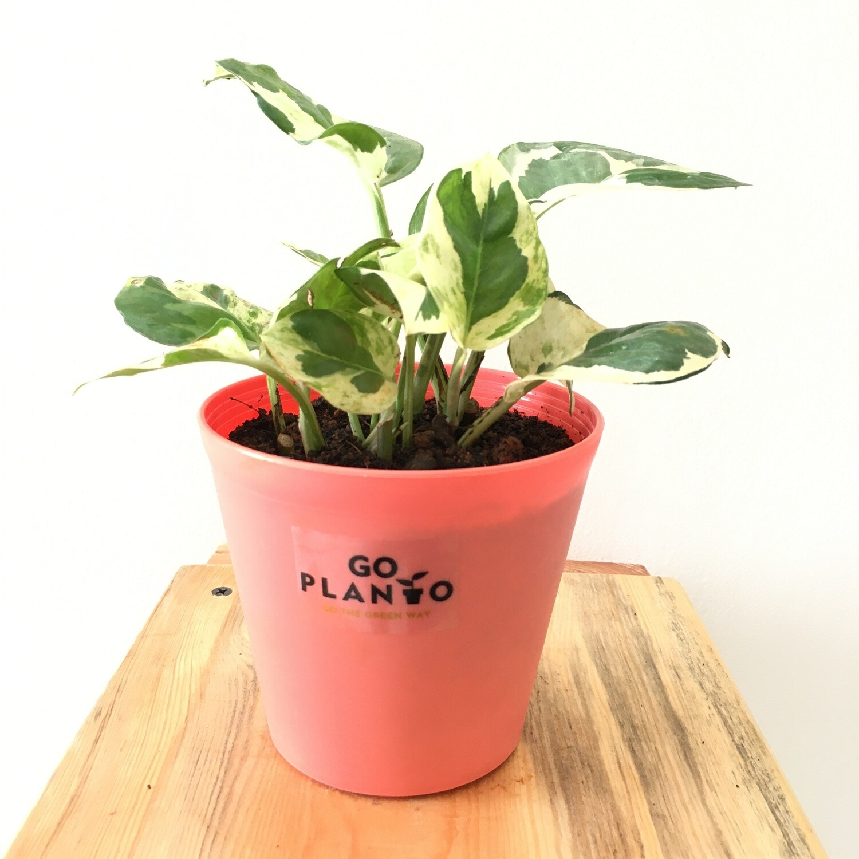 "Variegated Money Plant in 4"" Plastic Tank Pot"