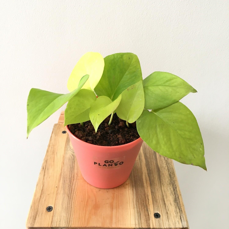 "Golden Money Plant  in Plastic Tank Pot 4"""