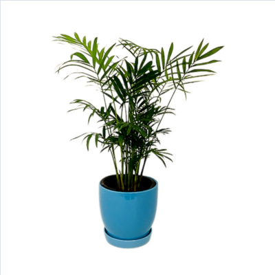 """Chamaedorea Palm Plant in 4"""" Ceramic Pot with Saucer"""