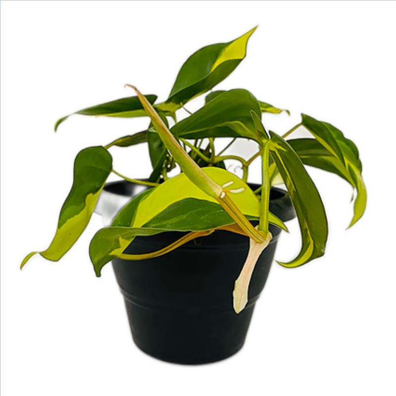Philodendron Brasil Plant in Black Round Plastic Pot