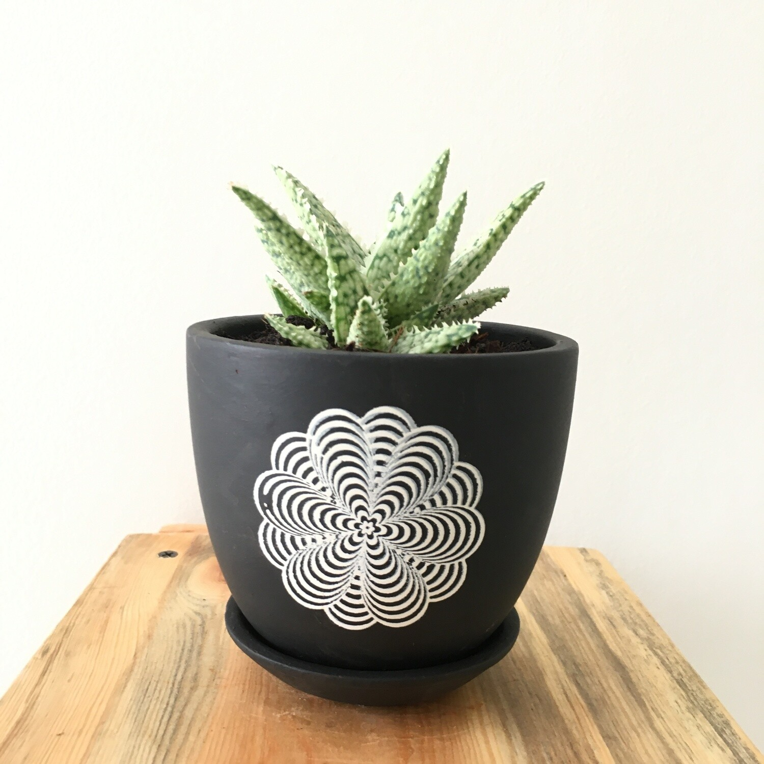 """Aloe Snow White in  4"""" Terracotta - Black Printed- Cup pot with Saucer"""