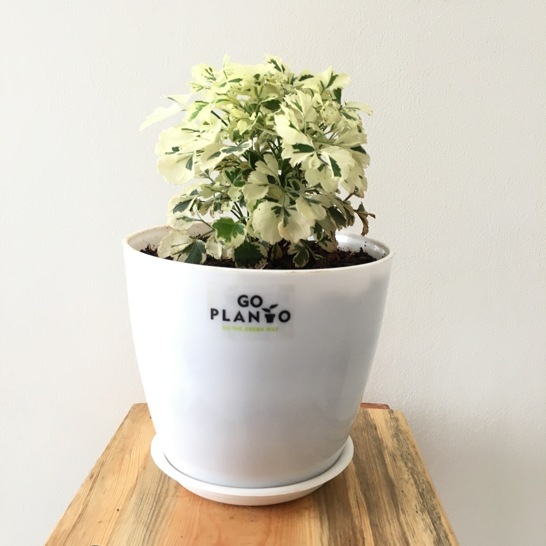 "Aralia Miniature White - Aralia Plant in 5"" Round Pot"