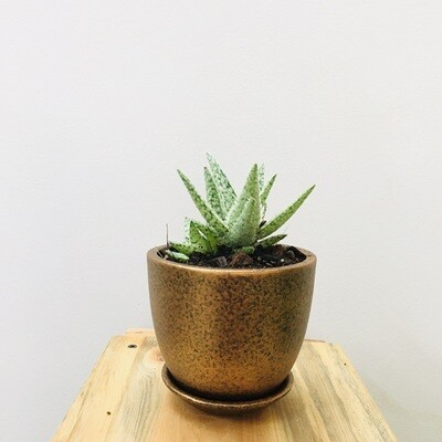 Aloe Snow White in Coated - Cup Pot - Copper Terracotta with Saucer