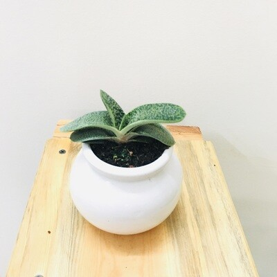 Gasteria Succulent in Ceramic Matka Pot