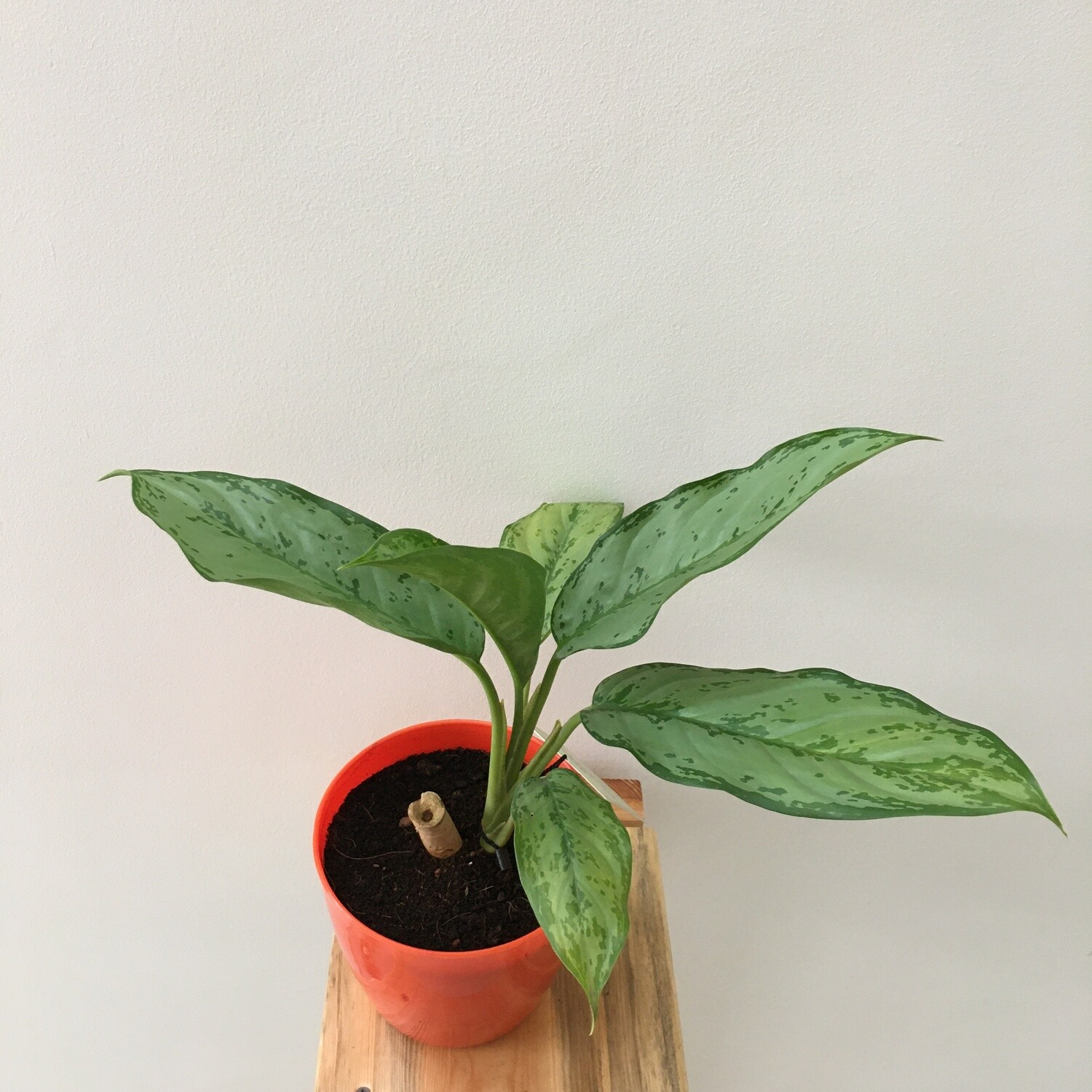 """Aglaonema Green Plant - Chinese Evergreen in Plastic  Round Pot 5"""""""