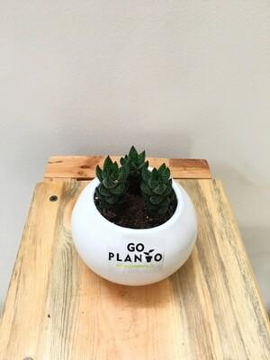 Haworthia Reinwardtii in Round Succulent Ceramic Pot