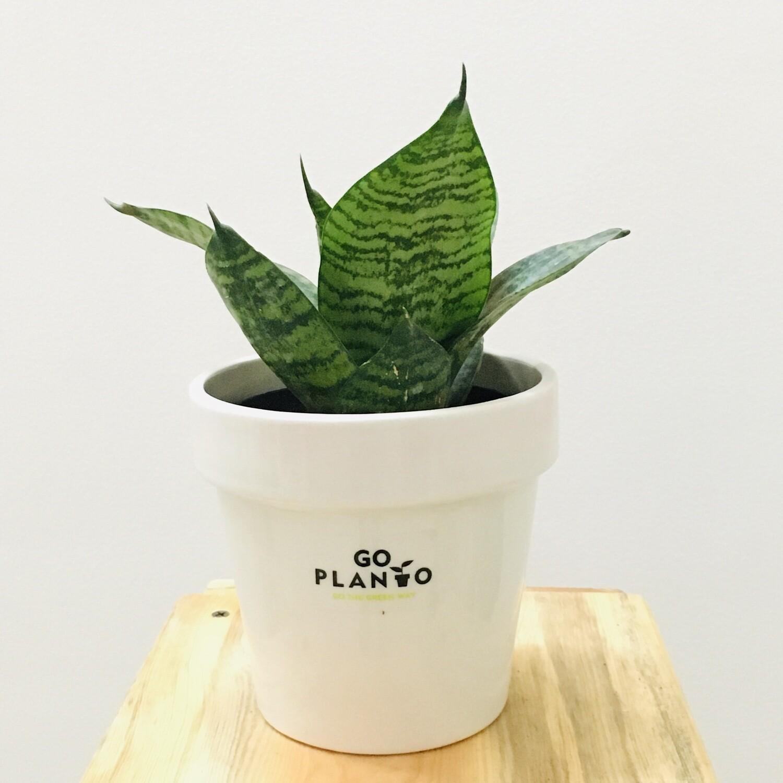 "Sansevieria Compacta Green- Snake Plant in 4.5"" Stackable Ceramic Glazed White Pot"