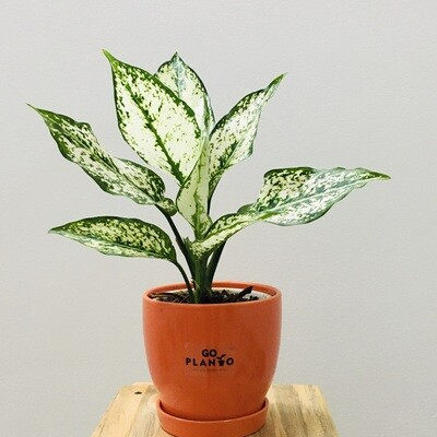 """Aglaonema Snow White - Chinese Evergreen in 4.5"""" Curvy Bottom Ceramic Pot with Saucer"""