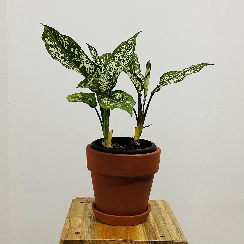 "Aglaonema Snow White - Chinese Evergreen in Terracotta 4"" Brown Pot"