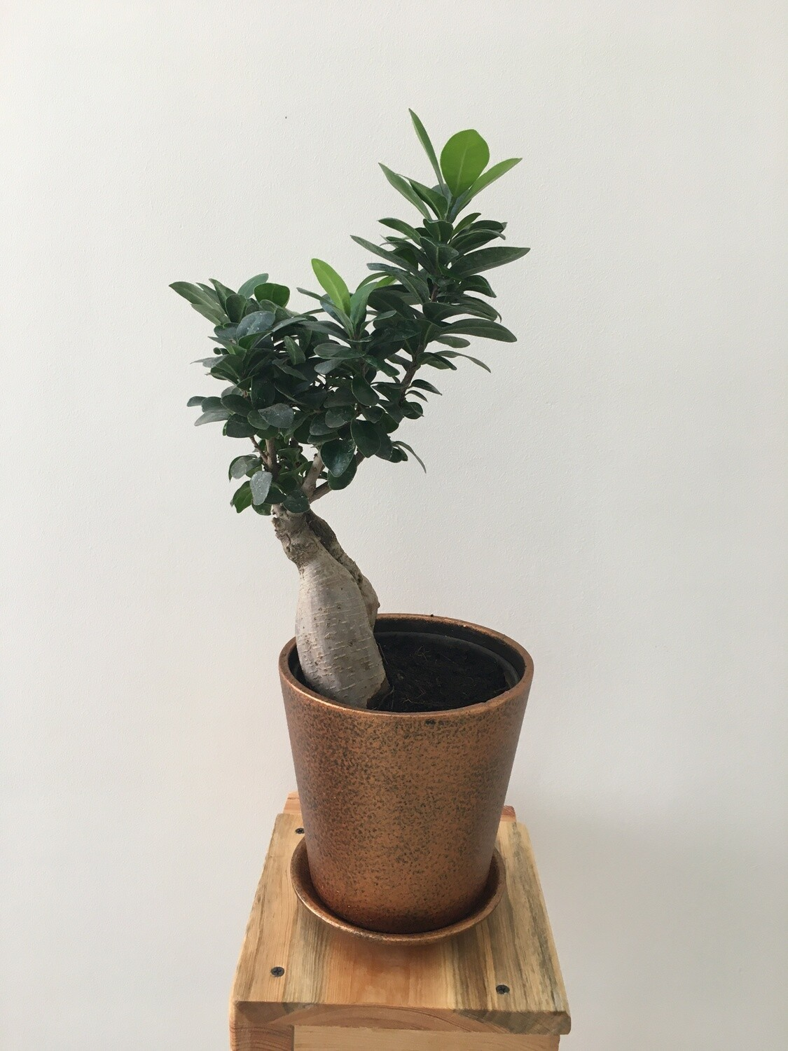 """Ficus Bonsai Plant in 6"""" Coated Pot - Copper Terracotta with Saucer"""