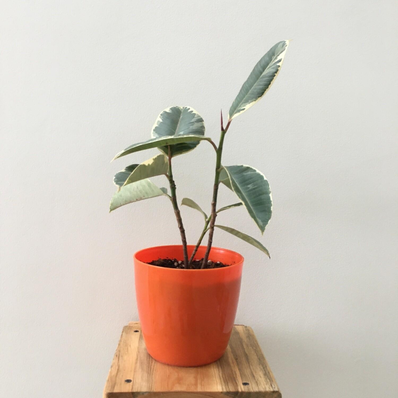 """Ficus Elastica - Rubber Plant Variegated in Skanda Round 5"""""""