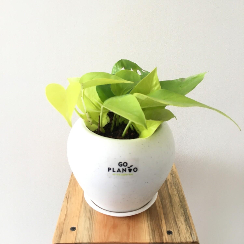"Money Plant Golden in Apple Pot 6"""
