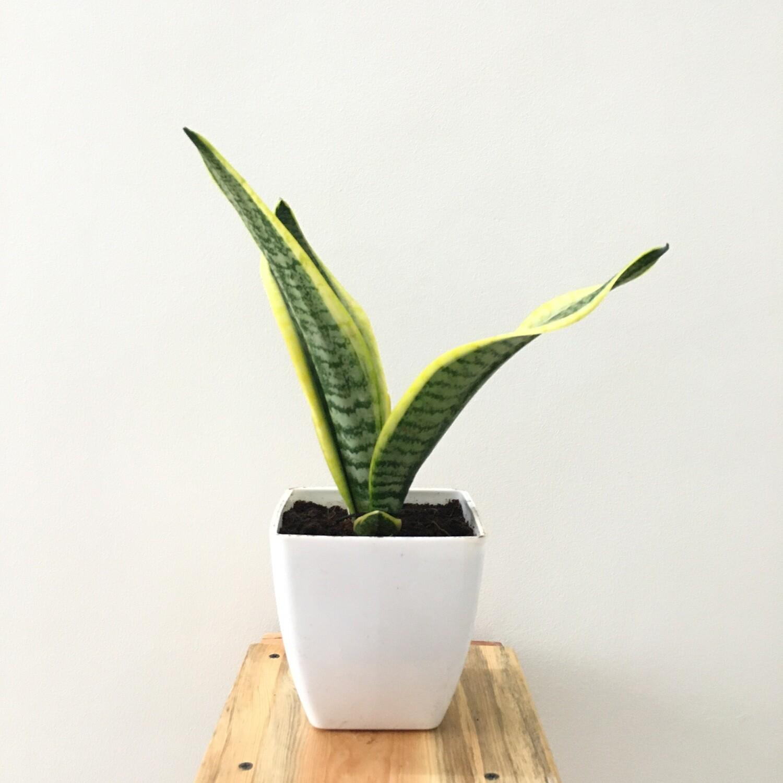 "Sansevieria Plant Golden long - Snake Plant in Daisy Square Pot 5"""