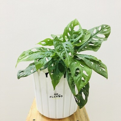 """Broken Heart - Swiss Cheese Plant in Fence Round Pot 6"""""""