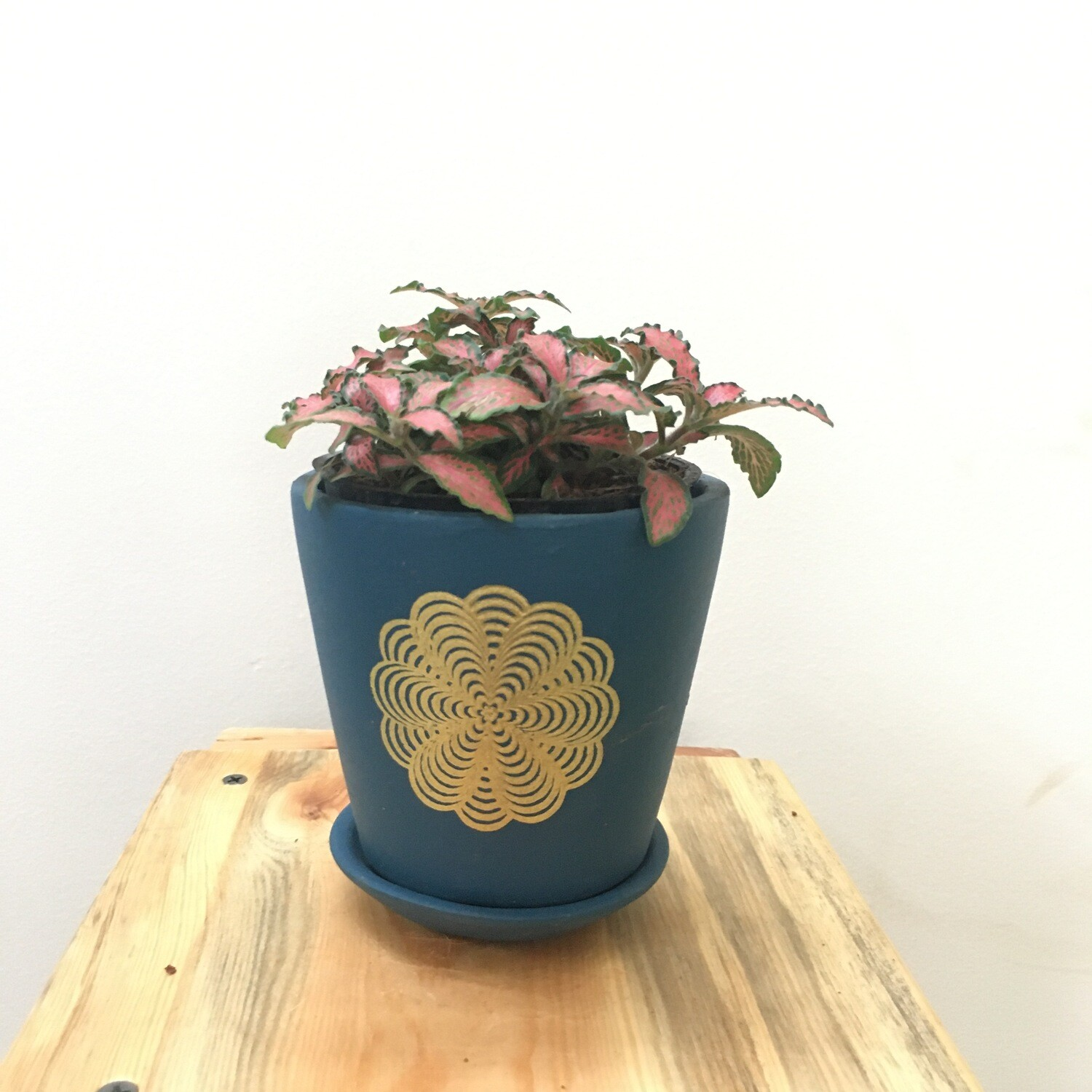 """Fittonia in 4"""" Terracotta - Blue Printed Series -Single Cup pot with Saucer"""