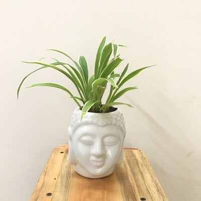 """Spider Plant in Budha 3"""" Pot"""