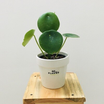 Peperomia Green Plant Round Leaf in Ceramic  4.5inch Pot- White