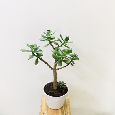 "Jade Plant Bigleaf in 6"" Traditional Ceramic Pot"
