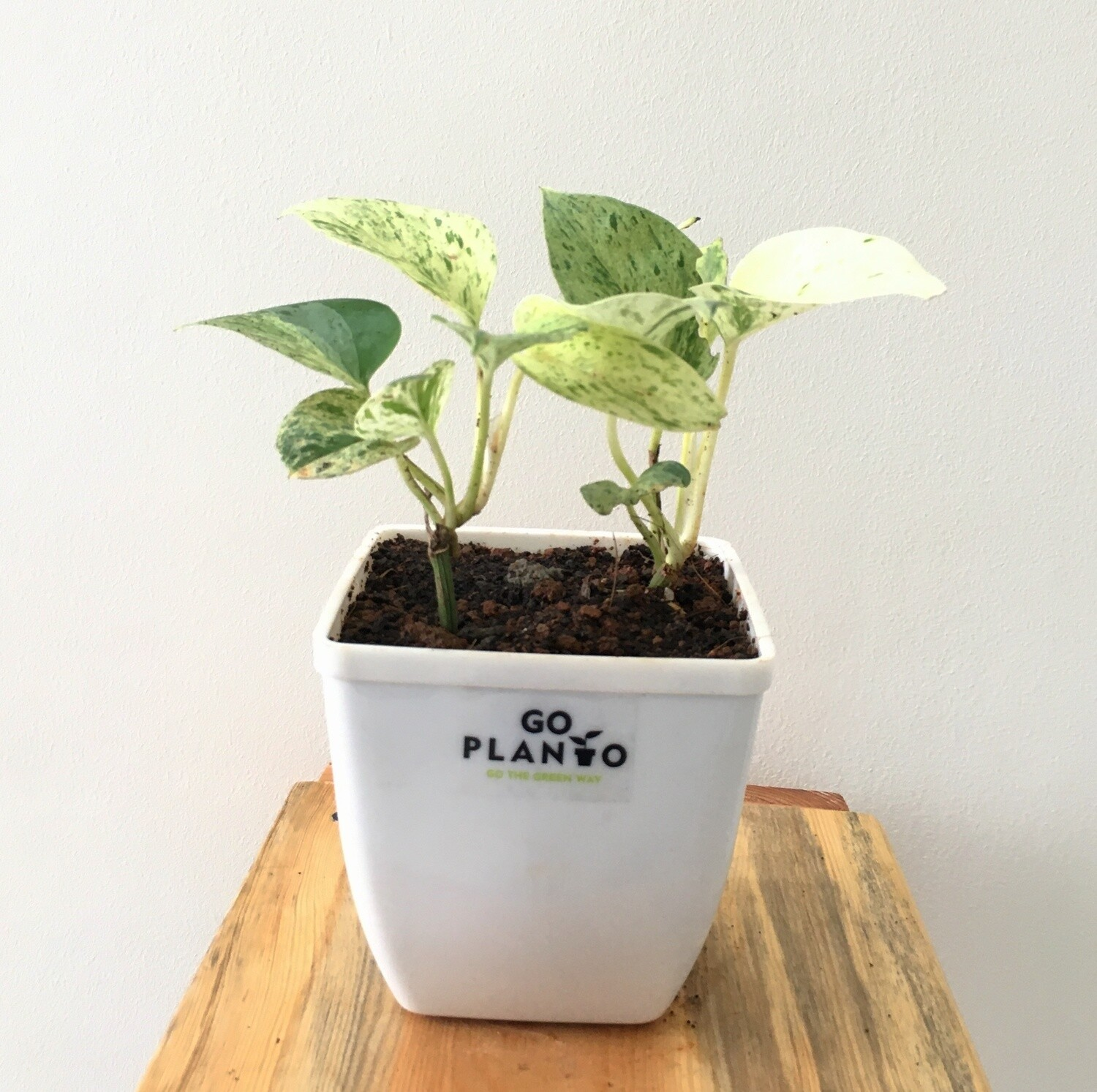"""Money Plant Marble Queen in Daisy Square Pot 4"""""""