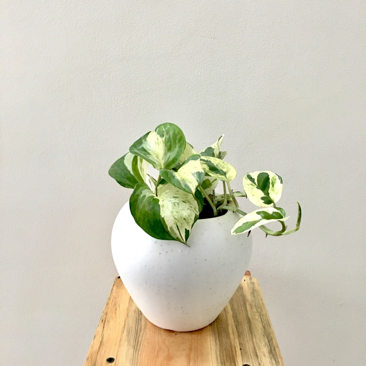 """Money Plant Variegated in Apple Pot 6"""""""