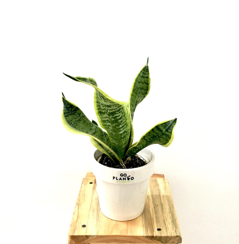 """Sansevieria Plant Golden long - Snake Plant in Stackable 4.5"""" Glazed - White Pot"""