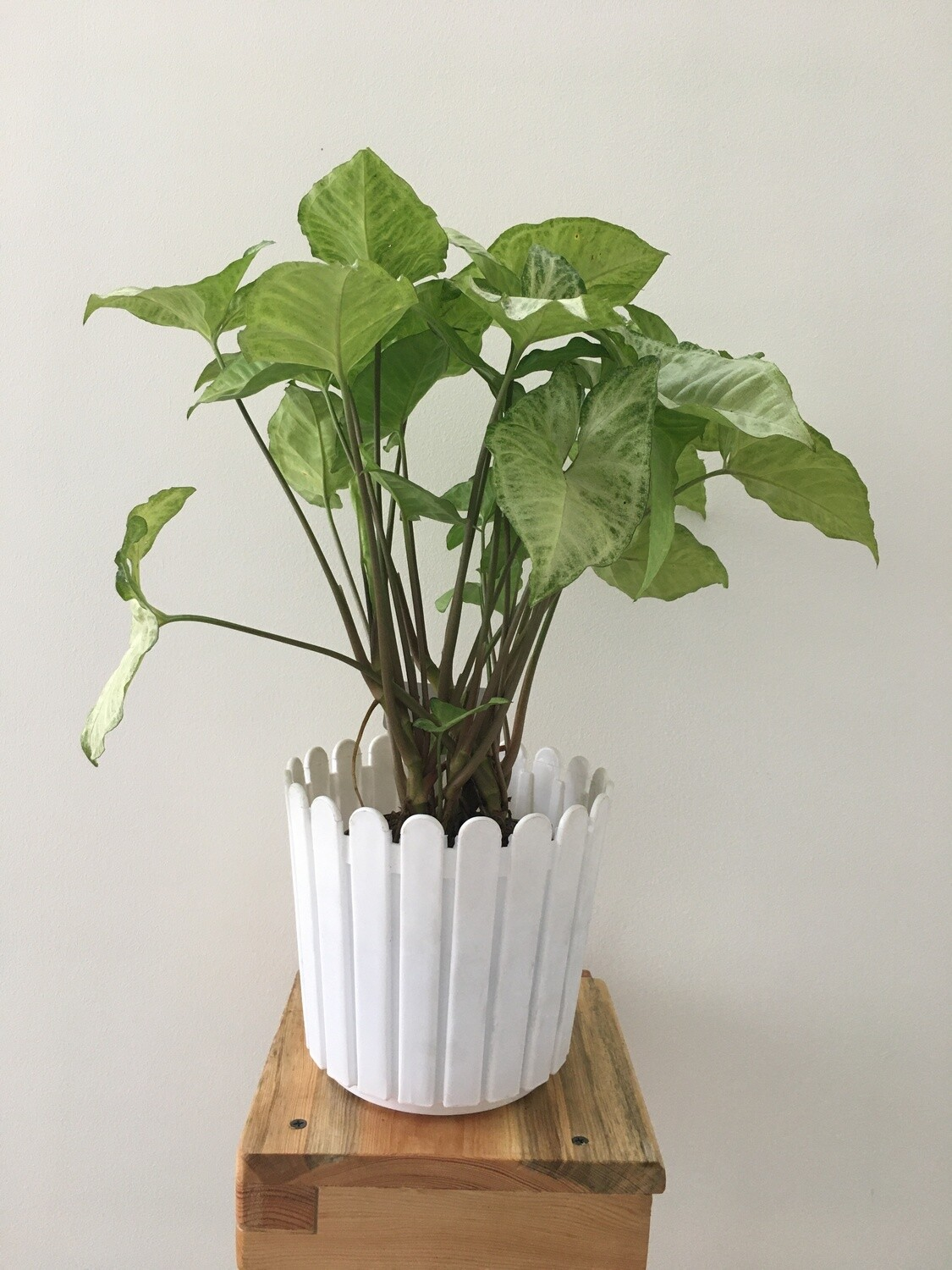 """Syngonium Silver Pearl in Fence 6"""" Round Pot"""