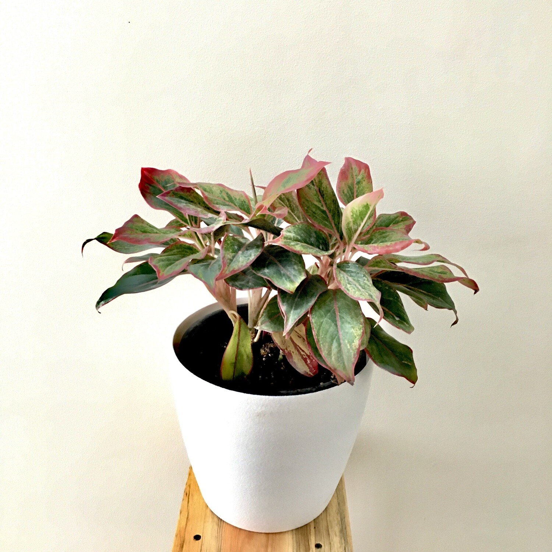 "Aglaonema Red Bushy- Chinese Evergreen in Round Pot 9"""