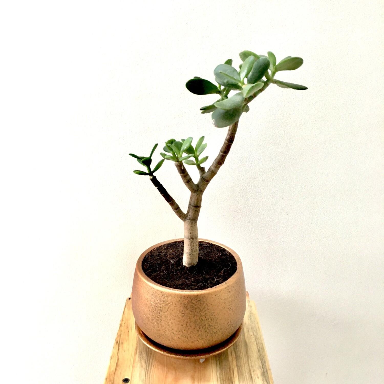 "Jade Plant Bigleaf in 4"" Coated - Unami Pot - Copper Color Terracotta with Saucer"