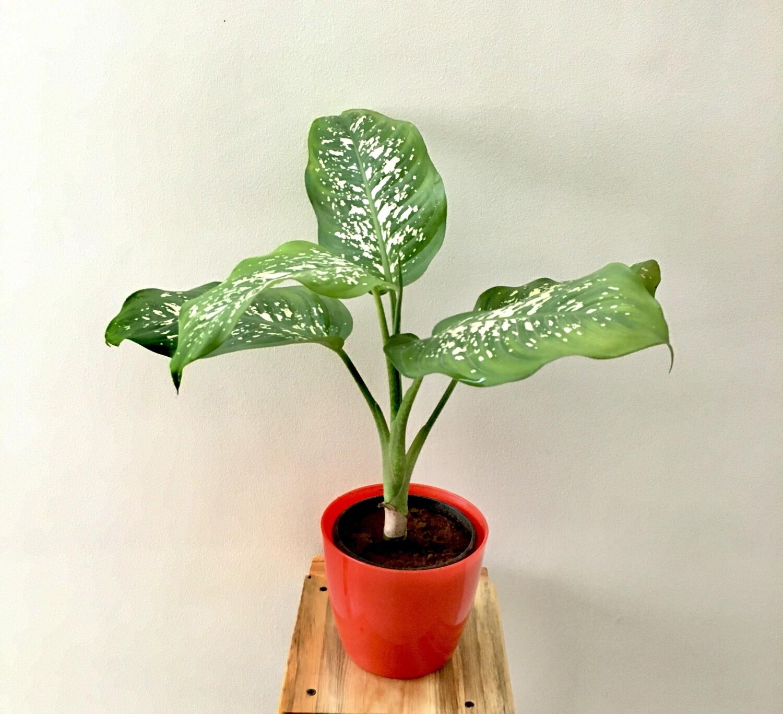 """Dieffenbachia Amoena in 5"""" Round Pot"""