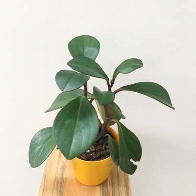 """Peperomia Green Long Leaf Plant in 4"""" Round Pot"""