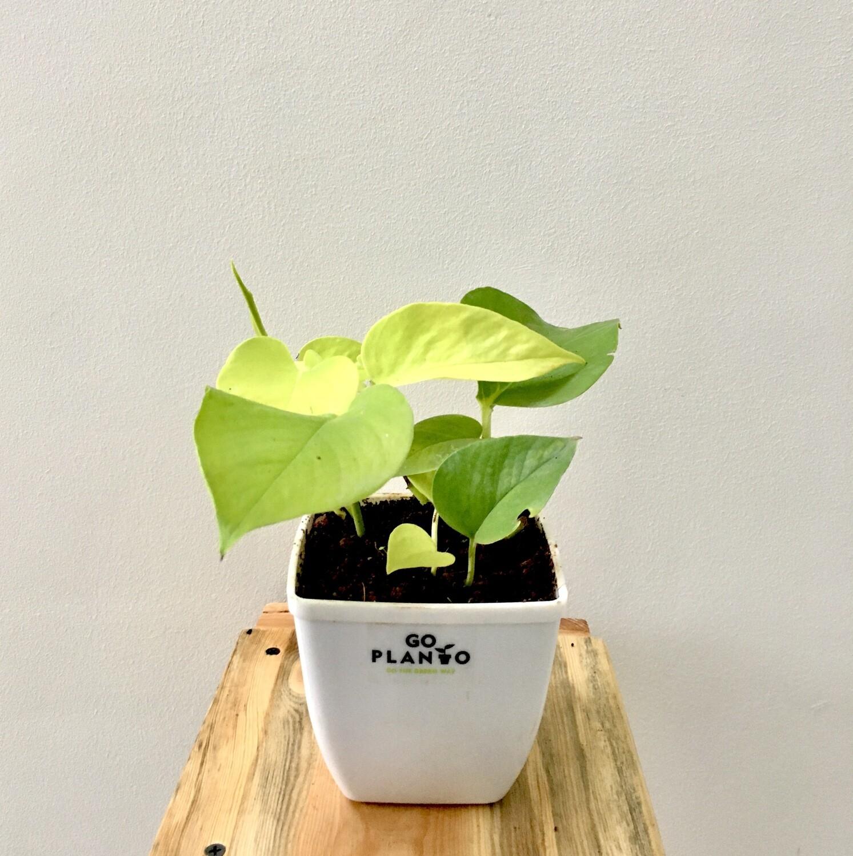 "Money Plant Golden in 5"" Daisy Square Pot"
