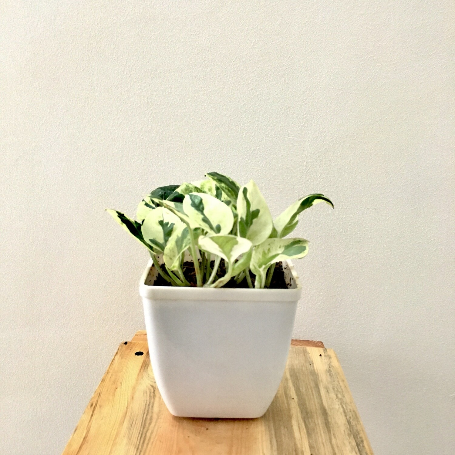 """Money Plant Variegated in 4"""" Daisy Square Pot"""