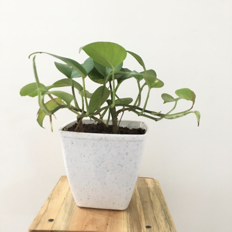 "Money Plant Green in 5"" Daisy Square Pot"