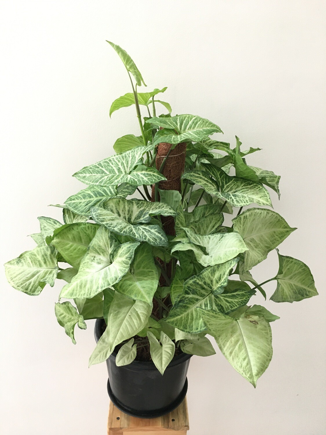 """Syngonium Green Plant with Moss Stick in 10"""" Nursery Pot-2 Feet"""