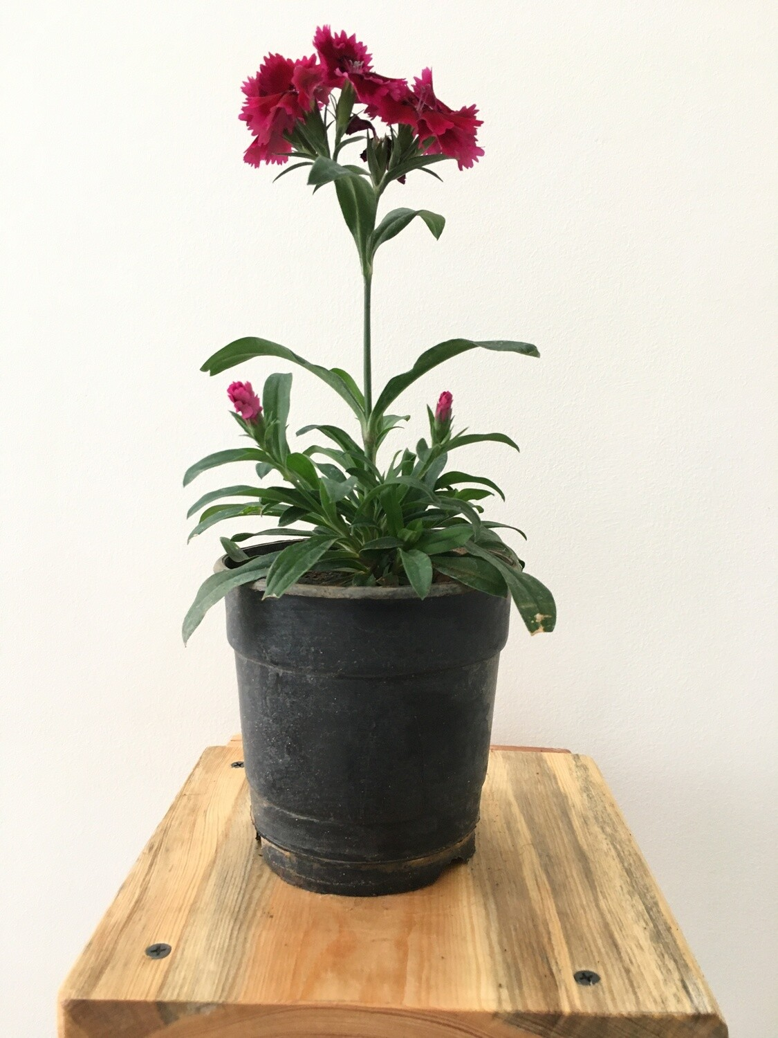 Carnation Red Plant