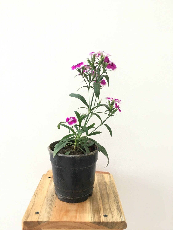 "Carnation Pinkinsh White Plant in 4"" Nursery Pot"