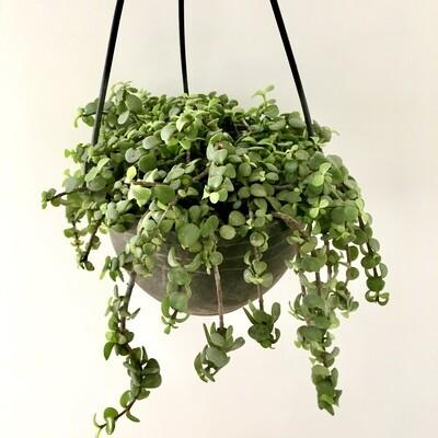Jade Plant in Nursery Hanging basket