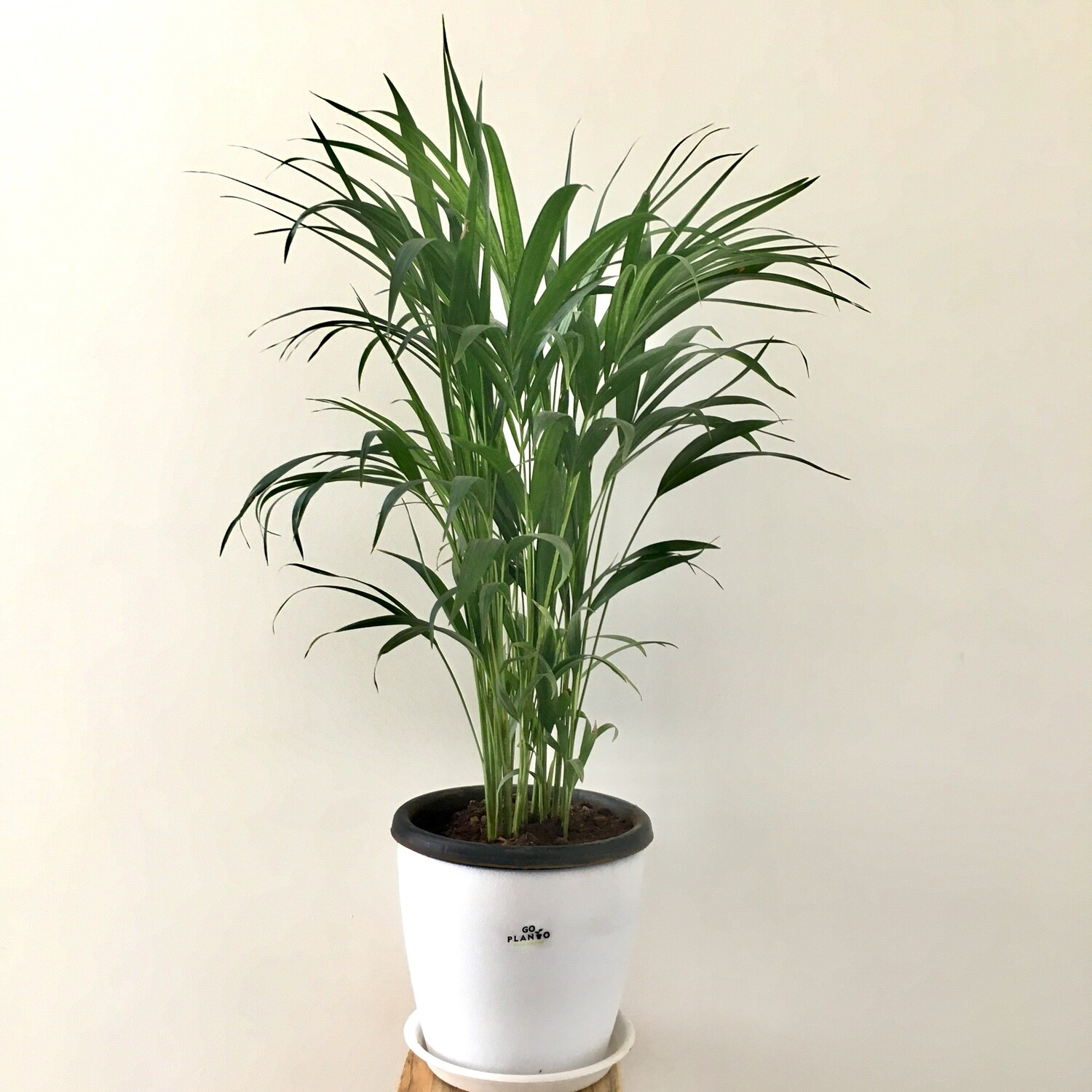 """Lush Green Areca Palm Indoor in 9"""" Round Pot with Tray"""