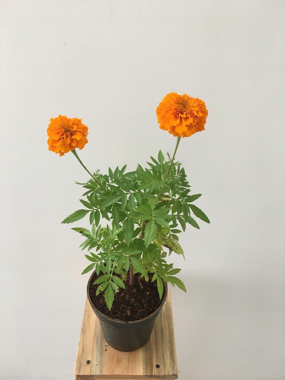 "Marigold in 4"" Nursery pot"