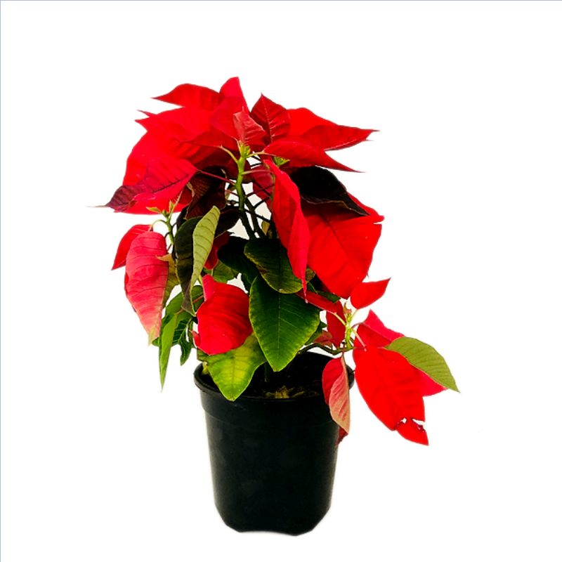 """Poinsettia Red Plant in 5"""" Nursery Pot"""