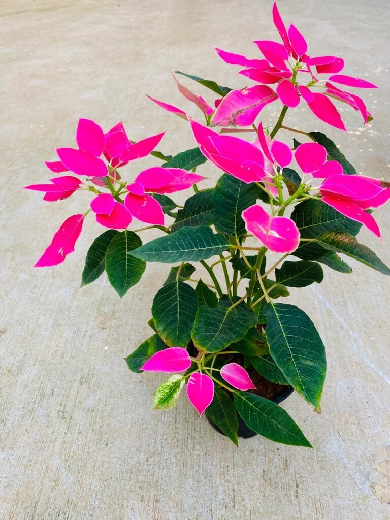 "Poinsettia Pink Plant in 5"" Nursery Pot"