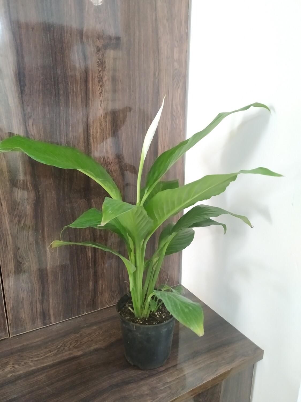 Peace lily Long Leaf in Nursery Pot